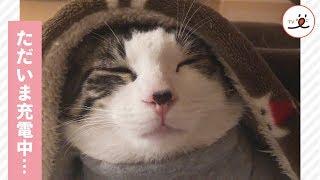 スリープモードにゃ…😴 お疲れの猫さん、毛布をかぶって充電中…♡【PECO TV】