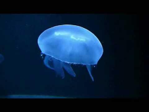 Quallen, Jellyfish