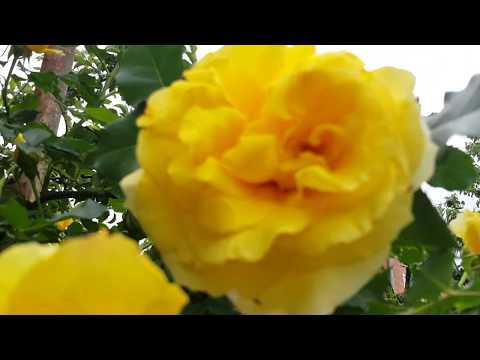 Цветущие розы в саду в мае - лучшие сорта роз для загородного дома