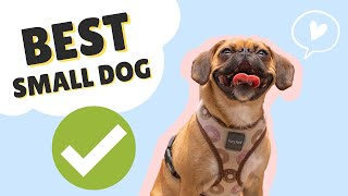TOP 5 REASONS TO GET A PUGALIER (PUG x CAVALIER) || SMALL DOG BREED