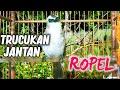 Burung Trucukan Jantan Ropel Santai Memancing Trucuk Bahan Agar Nyaut Gacor Dan Cepat Bunyi  Mp3 - Mp4 Download