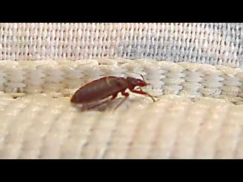 Bed Bugs Infest Lodgings in SFL