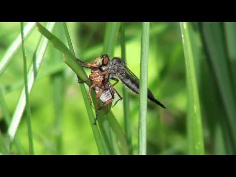 Robber Fly (Asilidae: Promachus) with Scarab Beetle