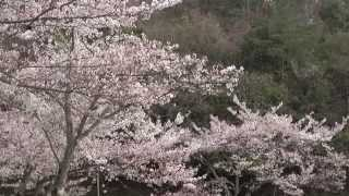 京都 4月 宝ヶ池公園 西岸 Takaragaike Park with blossoms, Kyoto(2014-04)