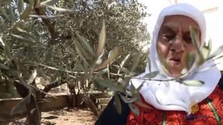 أم موسى عليان.. مقدسية تعشق شجرة الزيتون