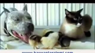 Civ civlere bakıcılık yapan kedi ile köpek.mp4
