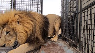 MOVING Day Can Be Very Unpredictable | The Lion Whisperer
