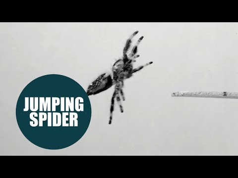 Spider trained to jump on demand for the first time