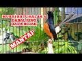 Pancingan Murai Batu Medan Balak  Dabal Ring Dada Belah Gacor Kicau Pidong  Mp3 - Mp4 Download