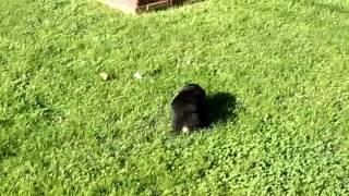 Welsh Corgi   Poodle Mix Puppy For Sale Aaron Stoltzfus