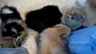 Маленькие шпицы)(, 2010-02-15T12:33:05.000Z)
