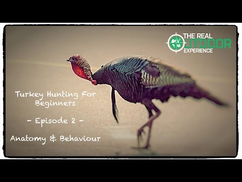 turkey-anatomy-&-behaviour---turkey-hunting-for-beginners---ep.2
