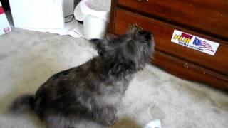 Bailey loves pizza!!  Cairn terrier