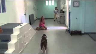 A Spinal Surgery Left Sammi The Springer Spaniel Paralyzed.