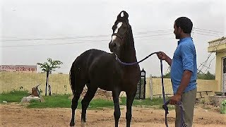 Dilshan Colt Of Indian Marwari Horse   Best Breed In India At Bhumiya Ji Stud Farm, Nagaur Rajasthan