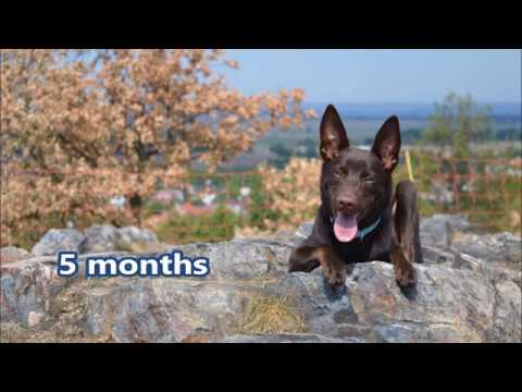 Art of Move FastForJoy the Australian kelpie - 5 months