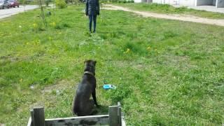 Дрессировка собак-шарпей Буча 6 мес