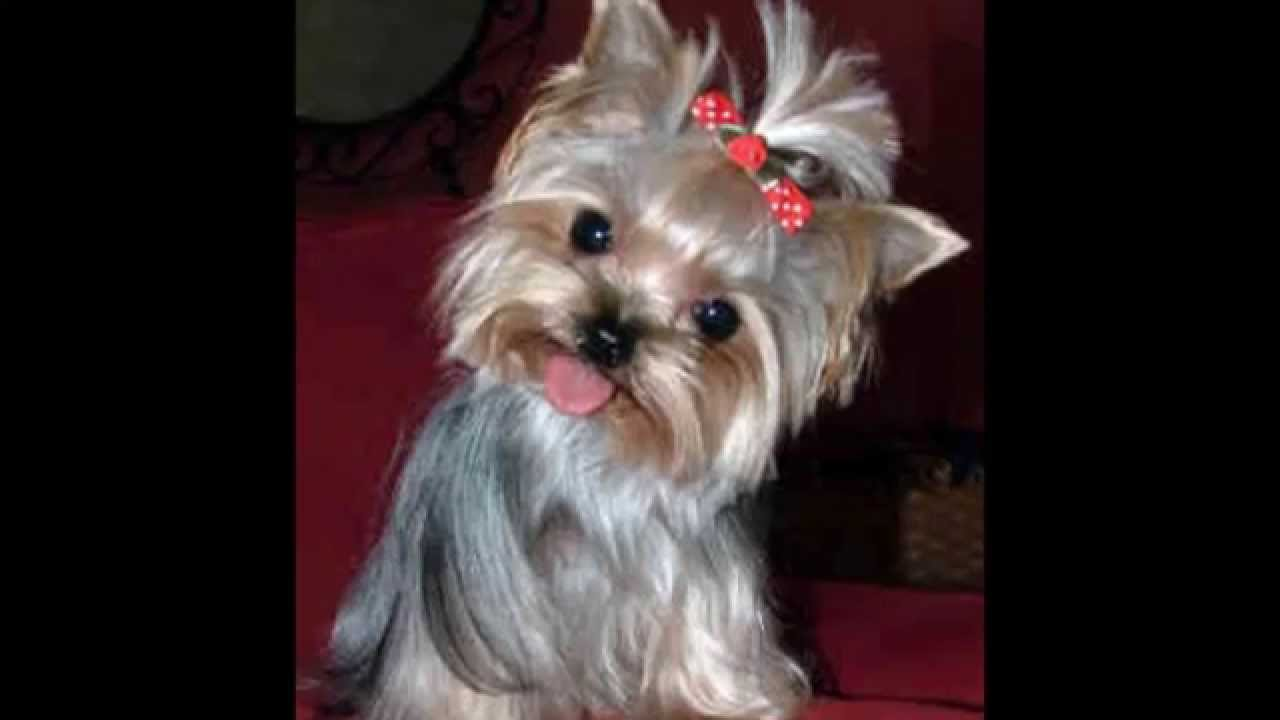 As Menores Ra 231 As De C 227 Es Do Mundo The Smallest Dog Breeds