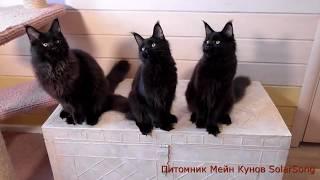 Котята Мейн Кун, чёрный солид, 5 месяцев(, 2017-09-02T09:42:55.000Z)