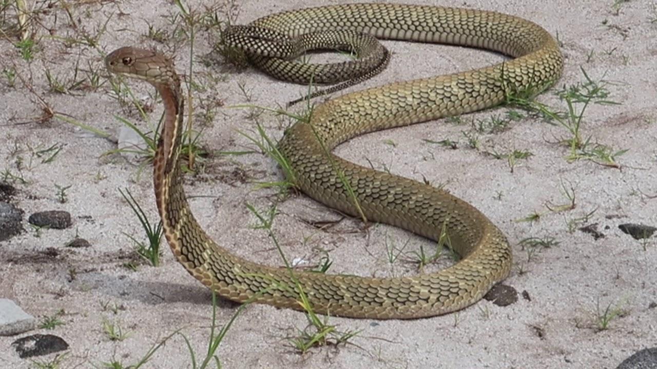 среднеазиатская кобра фото квартира, которой иногда