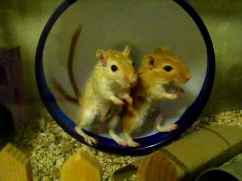 Two Gerbils, One Wheel - YouTube