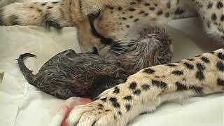 Cheetah giving birth with human assistance