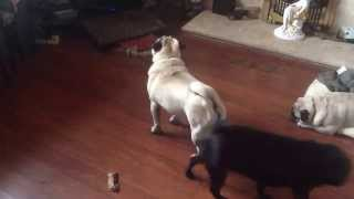 Pug singing to the television