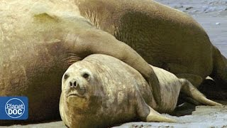 Elephant Seals Mating: Patagonia