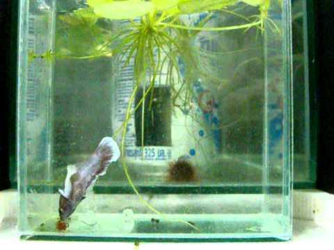 ปลากัดตัวเมียหูช้าง.AVI