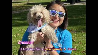 Meet Cheerio -  A Happy Spirited Poodle Mix!