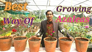 The Best Way of Growing AZALEAS.