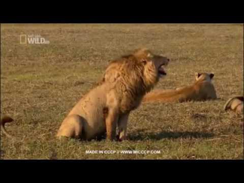 Siapa yang mau tau ketawa singa