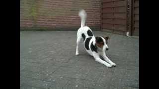 Unser Zucht Männchen Parson Russel Terrier Und Welpen