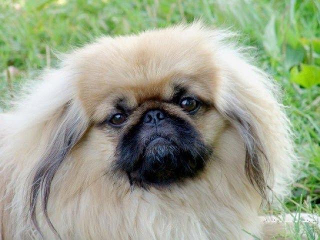 Пекинес (Pekingese). Породы собак (Dog Breed)