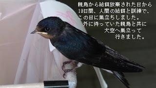 癒しの物語、ある日巣から落とされたツバメの雛、親鳥の育児放棄のため...