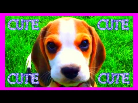 8 Weeks Old Beagle Puppy Louie Compilation : Were it all began...
