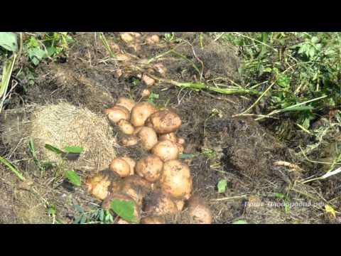 Выращивание картофеля. Органические траншеи