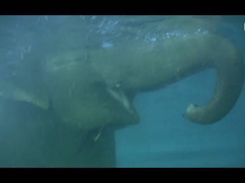 Elephant swimming - Elefanten baden im Zoo Leipzig