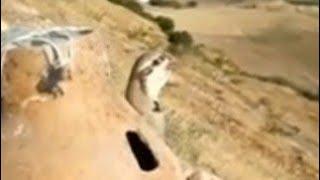 Yavru keklik sesi dişi erkek yavru keklikler ötüşü dinle