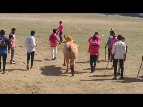 Download bull fight zunj saravali || Maharashtra Bull fight || bull fight zunj || bull fight mumbai