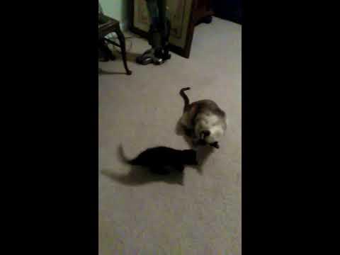 18 lb cat vs. 2 lb kitten