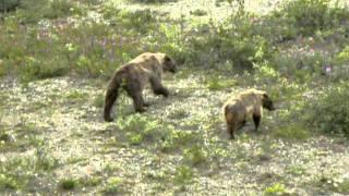 アラスカ・デナリ国立公園の野生熊