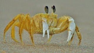 Simpaticos cangrejos tocan el Piano. Caranguejos do Brasil.
