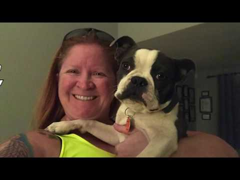 6mo Boston Terrier Racer~ Best Boston Terrier Trainers Phoenix