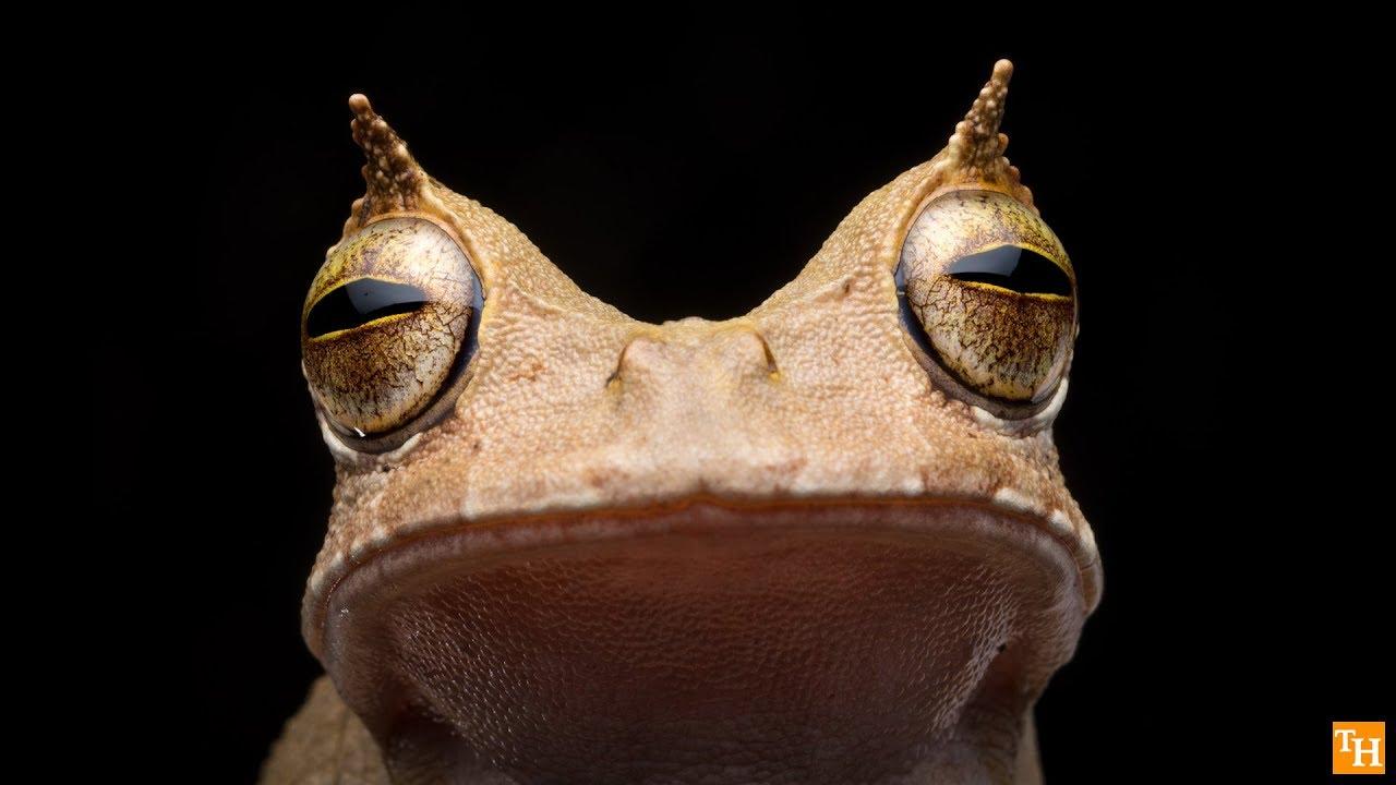 Horned Marsupial-Frog still alive in Ecuador