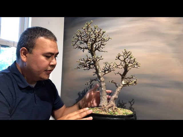 Defoliation of a portulacaria afra (dwarf jade) by Little Jade Bonsai