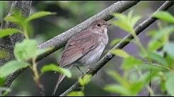 Satakieli Laulaa (Nightingale Singing) Luscinia luscinia