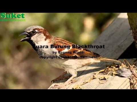 Suara Burung Blackthroat