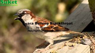 Suara Burung Blackthroat