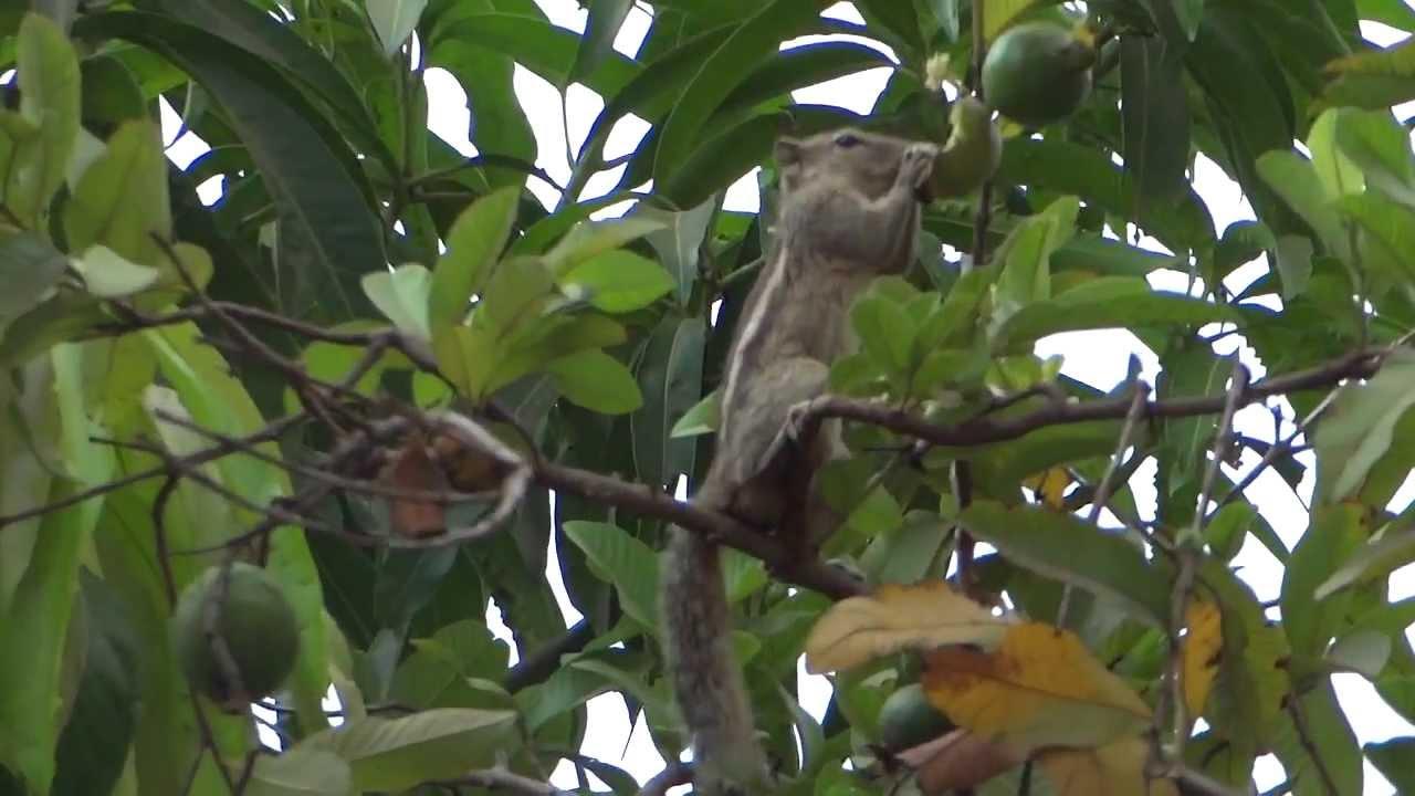 Squirrel Eating Guava Fruit
